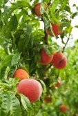 9417867-ripe-peaches-ready-to-pick-on-tree-branches